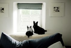 ♥ Scotties love looking out the window