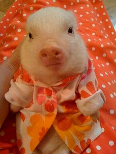cute piglet in a bathrobe