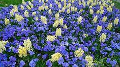 Weiße Hyazinthen kombiniert mit blauen Stiefmütterchen