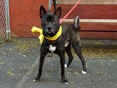 SAFE Manhattan Center  OPTIMUS - A0968548  MALE, BLACK, AKITA MIX, 1 yr STRAY https://www.facebook.com/photo.php?fbid=626556560690560=a.617938651552351.1073741868.152876678058553=3
