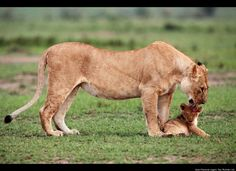 Lion Cub Rescued By Mother (PHOTOS)