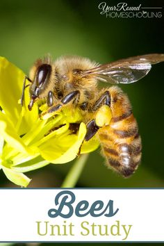 Bees Unit Study with videos and questions - Year Round Homeschooling Bee Activities, Spring Activities, Toddler Activities, Free Homeschool Curriculum, Catholic Homeschooling, Homeschooling Resources, Five In A Row, Thematic Units, Bee Theme