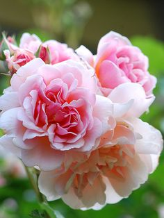 One of the most fragrant hybrid musk rose - 'Felicia'