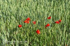 Trigo y Amapolas Poppies, Sunrise, Wildlife, Ocean, Sky, Water, Flowers, Plants, Hiking