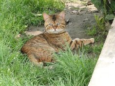 chat bengal adulte