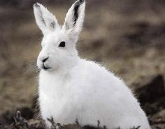 These striking creatures can be found in Arctic regions of Alaska, Canada and Greenland. In the winter months, the Arctic hare's coat turns white, Artic Animals, Funny Animals, Cute Animals, Wild Animals, Arctic Hare, Arctic Tundra, Wildlife Photography, Animal Photography, Hare Pictures