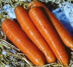 World Carrot Museum - Frequently Asked Questions and Answers about Carrots