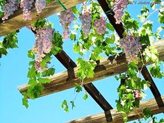 Fruits already make the place look best when they are in the house, from the picture you can see grapes and they are looking more best than any decorative item can. Place loads of fruits in the house so that you don't have to buy them and they can enhance the beauty of the house as well.