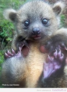 This is a baby Olinguito. The Olinguito is a newly discovered mammal found in Colombia and Ecuador.