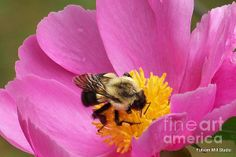 Bee working a Pink Peony