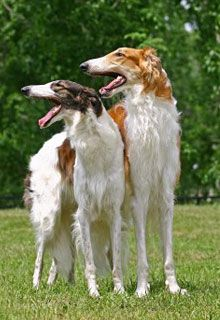 Borzoi- Apparently not only speedy, but brainy too