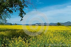 Yellow Flower Field An Blue Sky - Download From Over 31 Million High Quality Stock Photos, Images, Vectors. Sign up for FREE today. Image: 51851412