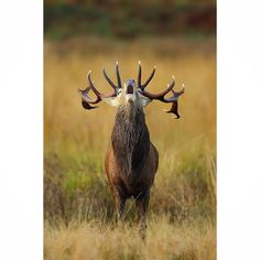 A Red Deer stag bellows during the rut. Canon Photography, Wildlife Photography, Animal Photography, Deer Rut, Stag Tattoo, Stag Antlers, Red Deer, Domestic Cat, Elk