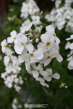 Næturfjóla (Hesperis matronalis) 'Alba'