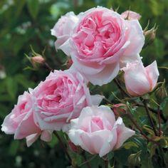 Рожеві троянди - це найбільша група троянд з найбільшою палітрою рожевих відтінків квітів. Ніжні, красиві рослини, що підкорюють серця та думки багатьох досвідчених трояндарів і початківців цієї справи. Більша частина цих англійських троянд - міцні і стійкі рослини. Особливість остінок саме в тому,...