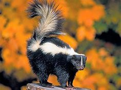 Skunks are mammals, usually black with a white stripe on their back and a fluffy tail. The skunk family includes 10 species of skunks found in North and Lynx, Skunk Facts, Primates, Mammals, Skunk Removal, Getting Rid Of Skunks, Skunk Spray, Striped Skunk, Walt Disney