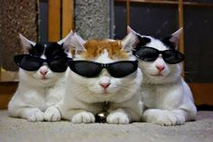 2 white & Black & 1 white & orange tabby cat with sunglasses COOL CATS ! Cute Kittens, Cats And Kittens, Kitty Cats, Cats Meowing, Ragdoll Kittens, Animals And Pets, Funny Animals, Cute Animals, Funny Horses
