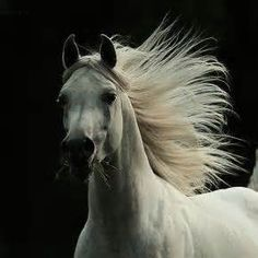 horse mane flying - yahoo Image Search Results