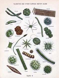 plankton and other surface water algae Biology Art, Science Biology, Marine Biology, Medical Illustration, Botanical Illustration, Bio Art, Zoology, Science And Nature, Natural World