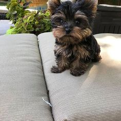 Teacup Yorkie For Sale, Yorkies For Sale, Yorkie Puppy For Sale, Puppies For Sale, Poodle Puppy Miniature, Yorkie Breeders, Yorkshire Terrier, Tea Cups, Pure Products
