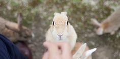 Japanese rabbit island in Hiroshima. 「Okunoshima」