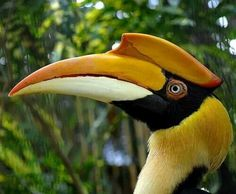 Great Indian Hornbill, south & southeastern Asia