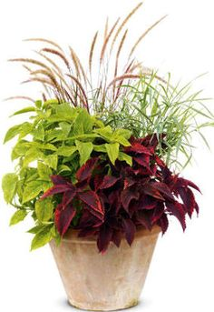 Gardening Container Pot for the front porch shade: Coleus Dappled Apple™ and Religious Radish star in front, with Graceful Grasses® Purple Fountain Grass as main back-up, and Dwarf Garters Dwarf Ribbon Grass sparking the right side. Outdoor Planters, Garden Planters, Outdoor Gardens, Full Sun Planters, Design Jardin, Garden Design, Coleus, Fountain Grass, Pot Jardin