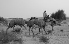 Camels in the desert!