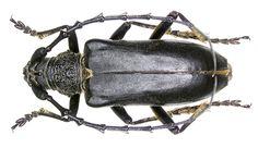 Longhorn Beetle, Beetles, Creatures, Animales