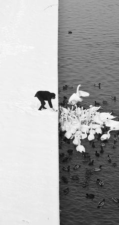 Black and white photography. Detail of an once-in-a-lifetime image of a Man Feeding Swans in the Snow in Krakow, Poland by Marcin Ryczek. Black N White, Black White Photos, Black And White Photography, White Swan, Black Swan, White Picture, Picture Man, Photo Black, Snow White