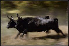 taureaux de Camargue