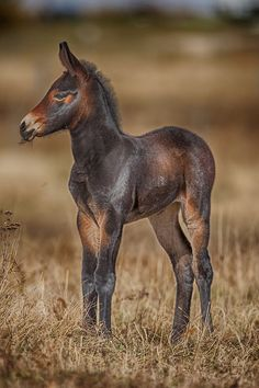 Mule Foal ~ by Rob Stratton