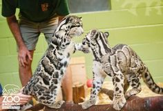 2 Clouded Leopard cubs, newly introduced to each other.   http://www.zooborns.com/zooborns/2013/09/clouded-leopard-point-defiance-zoo-.html