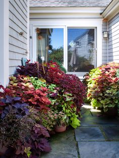 In this cool, shady courtyard, some dramatic fire with layers of large coleus plants coupled with sweet potato vine. Container Flowers, Container Plants, Container Gardening, Landscape Design, Garden Design, Coleus, Backyard Pool Landscaping, Patio, Garden Inspiration