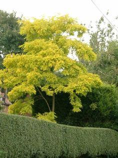 robinia pseudoacacia 'frisia' False Acacia or Black Locust Tree