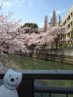クマ散歩:大岡川を品行方正なクマが上る6 (花之木町) The Bear took a walk up the Ooka River!♪☆(^O^)/