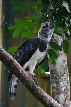 Panama, the Harpy Eagle @ Summit National Park | Flickr - Photo Sharing!