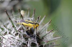 Värikäs pieni kaskas - kaskas Evacanthus interruptus  kaunis pieni hyönteinen keltamusta keltainen musta seittitakiainen Arctium tomentosum kääpiökaskas Cicadellinae ponsikaskas Viikki Mölylä
