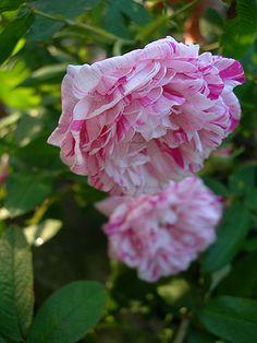 Gallica Rose: Rosa 'Perle des Panachées' (France, before 1837)