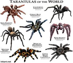 Tarantulas of the World Art Print by Wildlife Art by Roger Hall - X-Small Tarantula Enclosure, Pet Tarantula, Moth Species, Spider Species, Mexican Red Knee, Giant Leopard Moth, Spider Identification, Animal Facts, Animal Illustrations