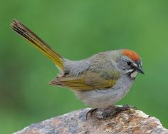 Green-tailed Towhee | photo