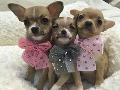Effective Potty Training Chihuahua Consistency Is Key Ideas. Brilliant Potty Training Chihuahua Consistency Is Key Ideas. Chihuahua Love, Chihuahua Puppies, Cute Puppies, Dogs And Puppies, Cute Dogs, Doggies, Baby Animals, Cute Animals, Mundo Animal