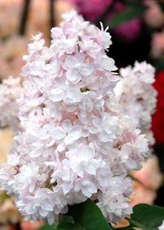 Køb Syren Beauty of Moscow Syringa vulgaris Beauty of Moscow online. Levering til døren. Find et stort udvalg af prydbuske til gode priser.