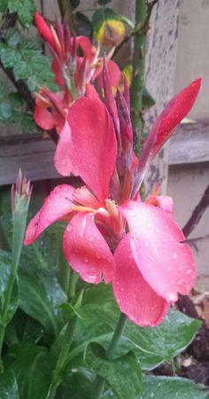Canna Hybrida - Mamboya Floweressences