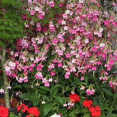 Nicotiana 'Whisper Mixed' Flower Garden, Plants, Seeds, Mother Plant, Fragrant Flowers, Flowers, Annual Flowers, Shade Garden Plants, Flower Seeds