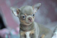 Teacup Chihuahua, Teacup Puppies, Chihuahua Love, Cute Puppies, Cute Dogs, Adoptable Beagle, Labrador Retriever Dog, Bull Terrier Dog, Bernese Mountain