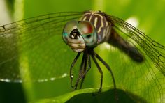 The Solemn Dragonfly by Kelby Roberson Photography, via Flickr >> looks at you with those eyes...