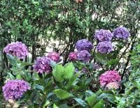 flower hydrangea plants in purple.JPG