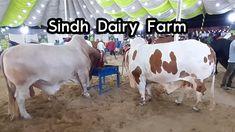 Sindh Dairy Farm 2019 Collection For Eid Ul Adha Qurbani Eid Ul Adha Qurbani, Karachi Pakistan, Cow, Dairy, Animals, Collection, Animales, Animaux, Animal