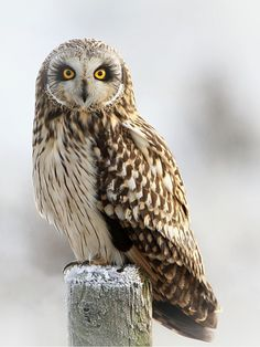 ~~Short eared owl by Dean Eades - BirdMad~~